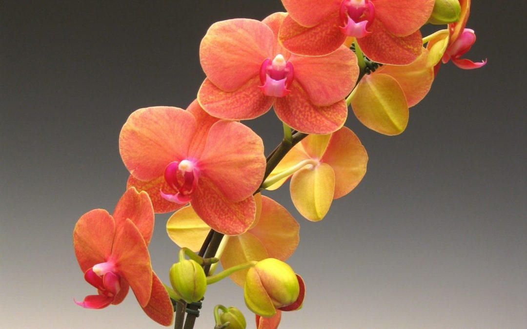 Caring for your Phalaenopsis (Moth) Orchid