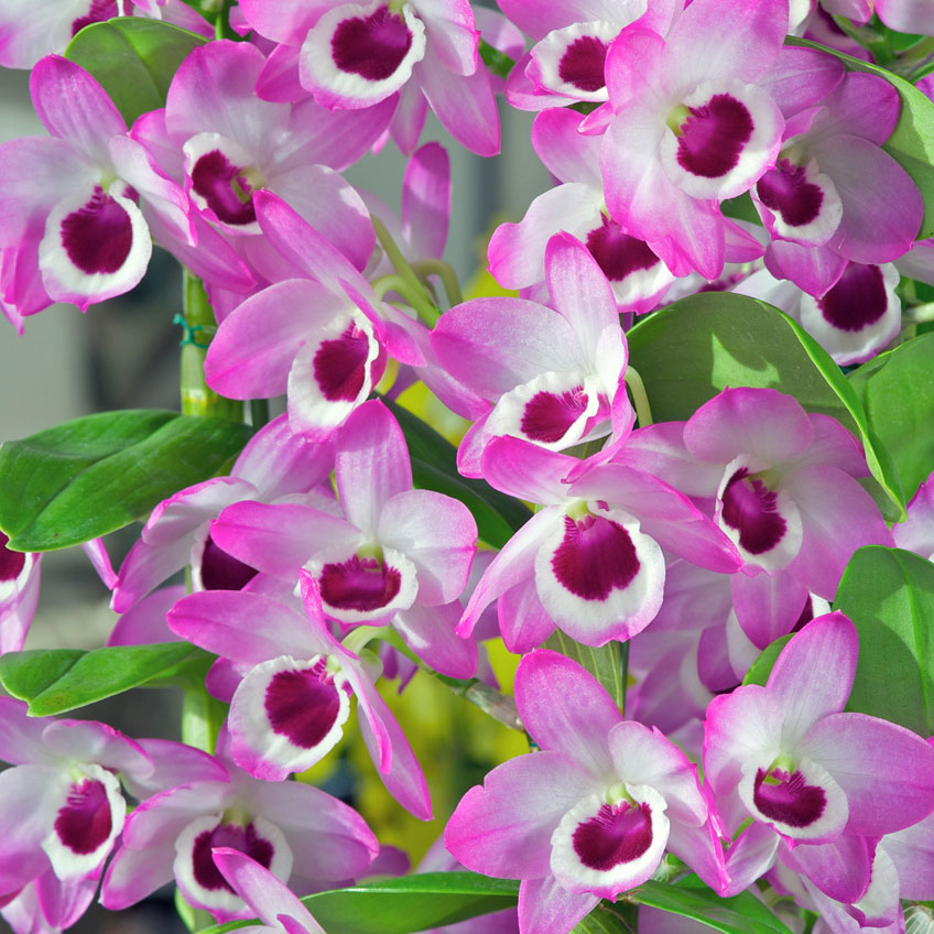 beautiful pink and purple orchids