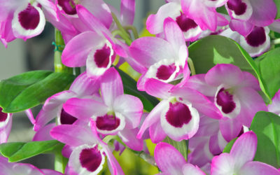 Growing Soft Cane Dendrobiums